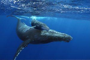 Mãe e Filhote de Baleia Jubarte no litoral Brasileiro